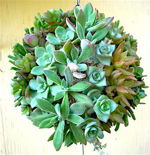 topiary-succulent-ball